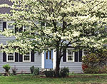White Dogwood Tree in Bloom in Front Yard of Colonial-style Home