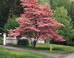 Pink Dogwood Tree in Full Bloom with White Picket Fence in Background