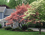 Pink and White Dogwood Trees in Spring Bloom at Country Home