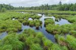 Tussock Sedge and Stream, Grand Lake Stream Plantation, ME