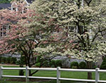 Pink and White Dogwood Trees in Spring Bloom and White Fence at Country Home