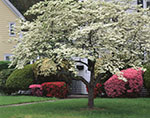 White Dogwood Tree and Azaleas in Full Bloom in Front of Country Home