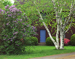 White Birch Tree and Lilacs in Bloom in Front Yard of Country Home