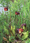 Pitcher Plants, Reservoir Pond
