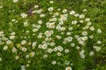 Field of Ox-eye Daisies, Stratford, NH