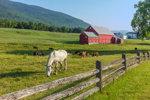 Big Red Barn at Pioneer Farm, Established 1785, with Horse and Cattle in Pasture, Columbia, NH