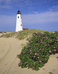 Roses in Bloom at Great Point Light, Nantucket National Wildlife Refuge