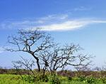 Scrub Oak after Burn, Moorlands