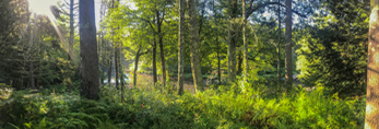 Forests along Millers River in Summer, near Bearsden Conservation Area, Athol, MA