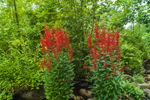 Cardinal Flowers in Full Bloom along Tributary of Falulah Brook near Saima Park, Fitchburg, MA