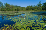 Fragrant Water Lilies in Tully Pond, Tully Mountain in Background, Orange, MA