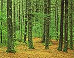 White Pine Forest in Summer