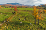 Cows in Pasture in Fall with Mount Mansfield in Distance, Green Mountains Region, Cambridge, VT