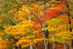 Colorful Sugar Maple Trees in Fall, Quabbin Park, Quabbin Reservation, Ware, MA