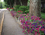 Flowers on Stonewall along Sidewalk, Mt. Desert Island