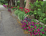 Stonewall with Flowers along Sidewalk, Mt. Desert Island