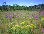 Field of Goldenrod and Blazing Star