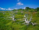Old Weathered Oaks in Salt Marsh, Coatue Wildlife Refuge
