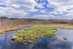 Tussock Sedge in Early Spring at Thousand Acre Swamp, Phillipston, MA