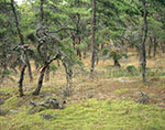 Pitch Pine Forest on Great Island, Cape Cod National Seashore