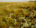 Sickle-leaved Golden Asters, Reindeer Lichen and Grasses in Morning Light, Great Island, Cape Cod National Seashore