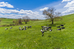 Dairy Cows in Pasture in Spring, Pomfret, CT