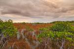 Red Mangroves and Wetland Prairie near Paurotis Pond under Stormy Skies, Everglades National Park, FL