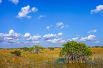Red Mangroves and Spike Rush in Wetland Prairie under Blue Sky and Cumulus Clouds, Everglades National Park, FL