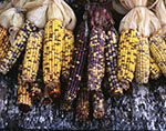 Collection of Indian Corn in Fall, Red Apple Farm