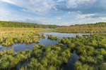Tussock Sedges in Early Morning Light at Thousand Acre Swamp, Phillipston, MA