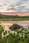 Beaver Lodge and Cloud Reflections at Sunrise at Thousand Acre Swamp, Phillipston, MA