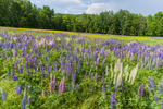 Field of Lupines in Bloom, White Mountains Region, Sugar Hill, NH