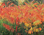 Staghorn Sumac in Fall Color