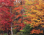 Red Maples in Fall Color, Red Maple Swamp, Kemp Brook