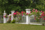 Pink Roses on White Fence on Royalston Common, Royalston, MA