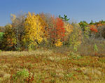 Marsh and Red Maples in Fall Colors