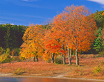 Sugar Maples in Fall Foliage along Shoreline of Wachusett Reservoir