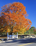 White Fence and Stonewall with Sugar Maple in Brilliant Fall Colors