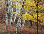 White Birch Tree Trunks and Maple Tree in Fall Foliage