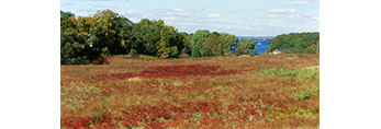Dwarf Sumac in Meadow in Late Fall with Lake Tashmoo in the Distance