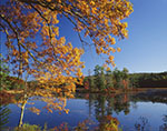 White Oak and Red Maple Trees with Fall Color at Harvard Pond in Late Fall