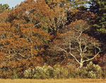 Oaks at Salt Marsh Edge in Late Fall