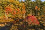 Colorful Fall Foliage at Harvard Pond, Petersham, MA