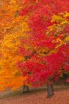 Brilliant Fall Foliage in Sugar Maple Trees, West Boylston, MA