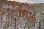 Lingering Oak Leaves on Trees in Bearsden Forest Conservation Area after Late Autumn Snowfall, Athol, MA