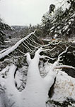 Fallen Tree on Millers River with Fresh Snow