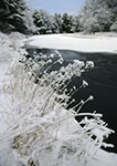 Snow-covered Weeds along Millers River