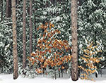 Snow on Pines, Oak and Beech Trees, Erving State Forest