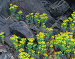 Cypress Spurge against Stone, Adirondack Mountains