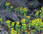Cypress Spurge against Stone, Adirondack Mountains